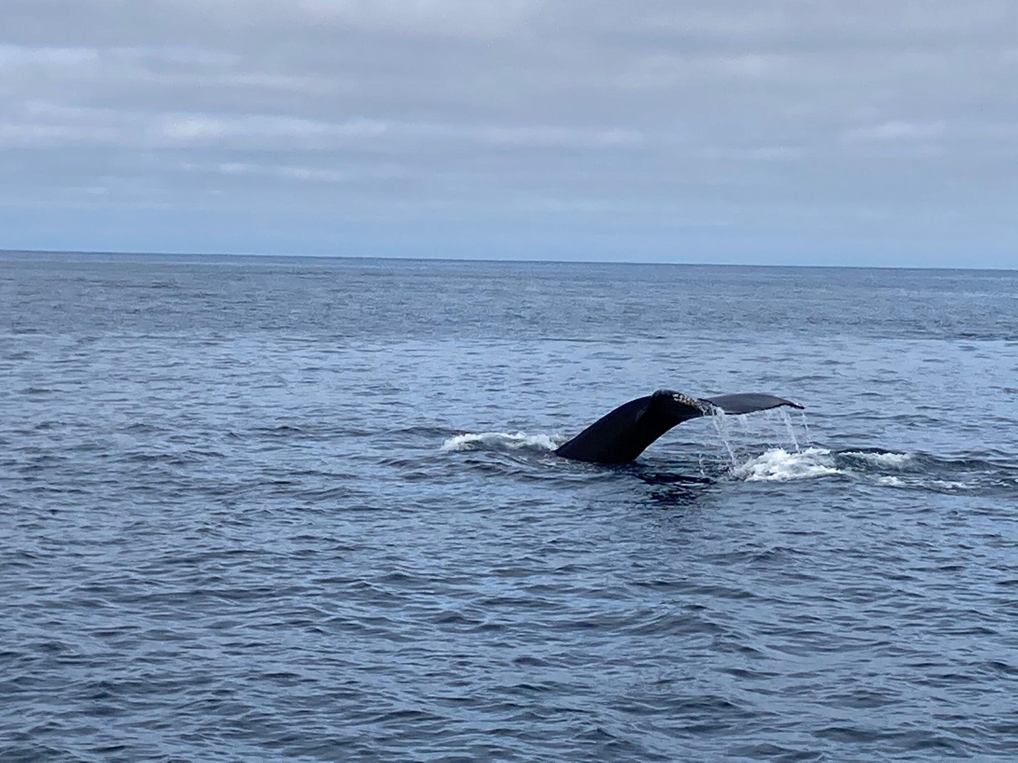 avvistamento balene a Husavik